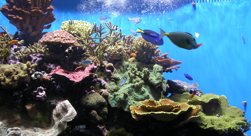 Reef Safe Fish Pictures to pin on Pinterest