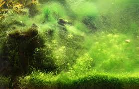 hairalgae