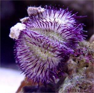 purpleurchin1